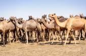 Besättning av indiska kameler, Camelus dromedarius, — Stockfoto