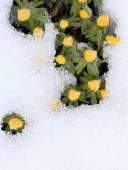 Winter Aconite, lat. Eranthis hyemalis in snow — Stock Photo