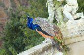 Peacock in the castle garden — Stock Photo