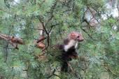 Marten beech, lat. Martes foina on the pine tree — Stock Photo