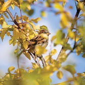 Sparrow bird Passer P. domesticus detailed closeup, autumn tree hideout, yellow leaves, sunny blue sky, gentle bokeh background — Stock Photo