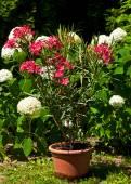 Oleanders flowers in the garden — Stock Photo
