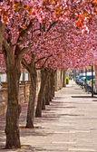 Cherry trees — Stock Photo