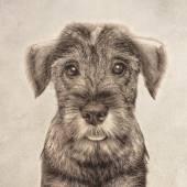 Cucciolo di schnauzer — Foto Stock