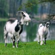 Goat with kid on nature — Stock Photo #77392804