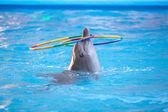 Mavi su bir çember ile oynayan genç yunus — Stok fotoğraf