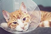 Gatto arancione nel cono di collo — Foto Stock