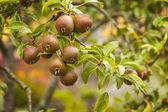 Pear trees — Stock Photo