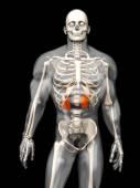 Human Anatomy visualization - Kidneys — Stock Photo