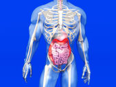 Human Anatomy visualization - Digestive system — Stock Photo