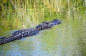 Alligator simning — Stockfoto