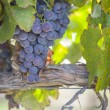 Lush, Ripe Wine Grapes on the Vine — Stock Photo #54417459