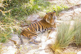 Siberian Tiger Resting in the Cool Stream — Stock Photo
