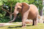 Male african elephant at the Miami MetroZoo — ストック写真