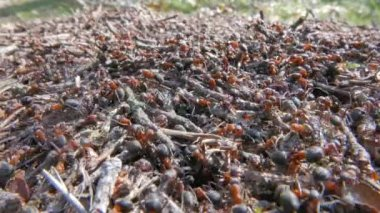Anthill with moving ants — Stock Video