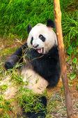 Urso panda — Fotografia Stock