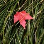 Autumn Maple Leaf — Stock Photo #52491397