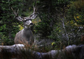Four Point Mule Deer in Rocky Mountains — Zdjęcie stockowe