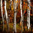 Fall Birch Trees — Stock Photo #80061886