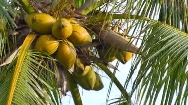 Coconuts on a palm tree 4k — Stock Video