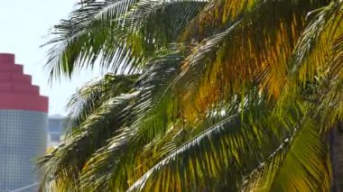 Miami tropical palm trees — Stock Video