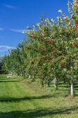 Fruit Orchard — Stock Photo