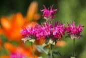 Pink Bergamot — 图库照片