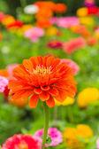Orange Zinnia — Stock Photo