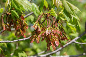 Red Maple Seed — Foto Stock