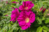 Shrub Rose — Stock Photo