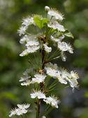 Pin Cherry Tree — Stock Photo