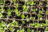 Petunia plantor — Stockfoto