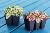 Polka Dot Plant — Stock Photo