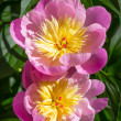 Garden Peonies — Stock Photo #67610899