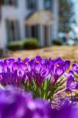 Springtime Crocus — Stock Photo