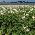 Potato Field — Stock Photo #72782937