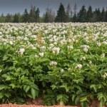 Potato Field — Stock Photo #72782941