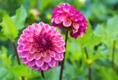 Pink Dahlias — Stock Photo