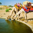 Two camels drinking — Stock Photo #57398803