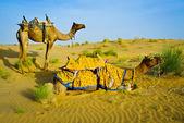 Kameler — Stockfoto
