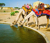 Two camels drinking — Stock fotografie