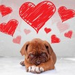 Shy love of a dog de bordeaux puppy — Stock Photo #62662493