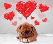 Shy love of a dog de bordeaux puppy — Stock fotografie