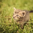 Curious little baby cat in the grass — Stock Photo #74187003