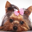 Yorkshire terrier puppy dog is lying down to rest — Stock Photo #74187307