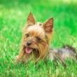 Seated yorkshire terrier puppy dog — Stock Photo #75987685