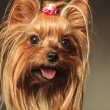 Closeup picture of a happy little yorkshire terrier puppy dog fa — Stock Photo #77909072