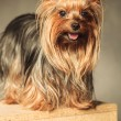 Small yorkie standing on a wooden box with copy space under it — Stock Photo #77909104