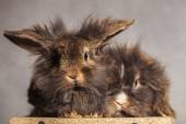 Furry lion head rabbit bunnys looking at the camera — Stock Photo