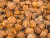 Coconuts at the coconut farm — Stock Photo